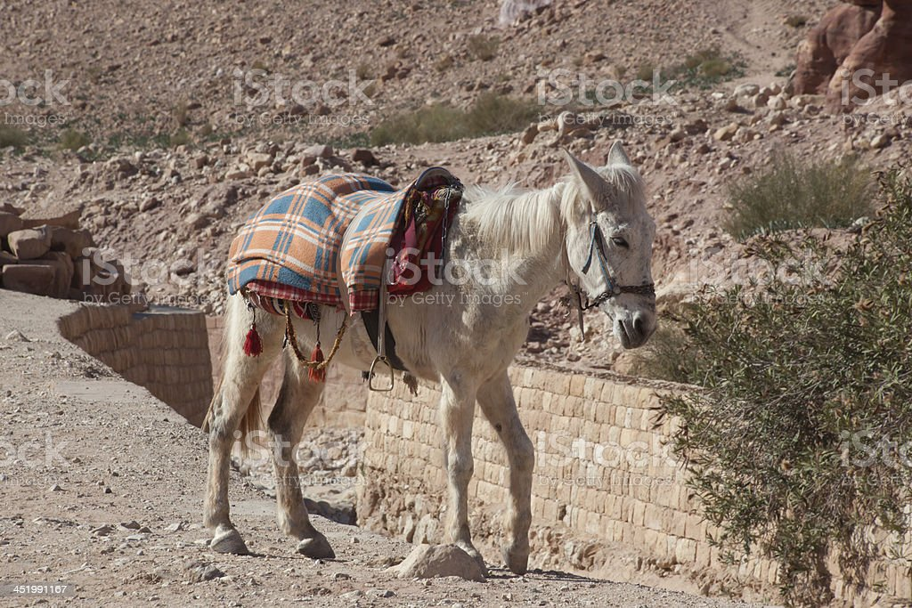 White mule for tourists in Petra, Jordan royalty-free stock photo