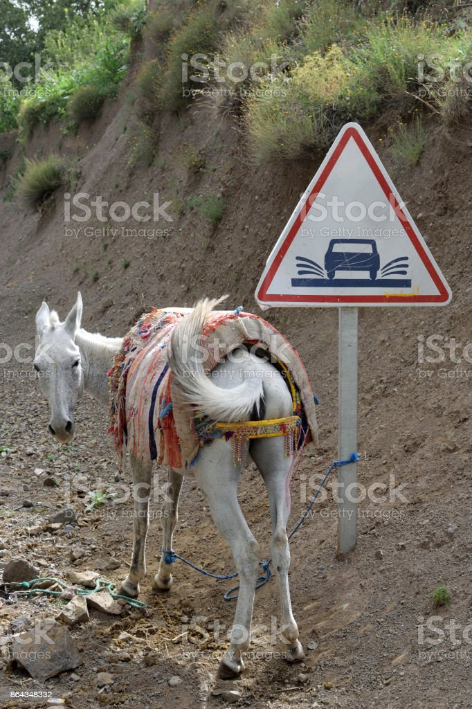 White mule on a dusty road stock photo