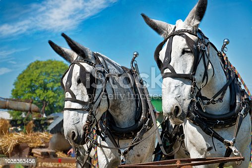 Straight on image of white mules in harness.