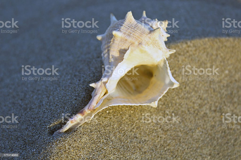 White murex on the sand stock photo