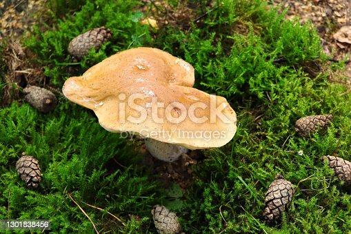 White mushroom, boletus in the forest.Boletus edulis in wild nature. Leccinum edule. Dictyopus edulis. Bolete on the ground.Porcini. Moss and cones in forrest.