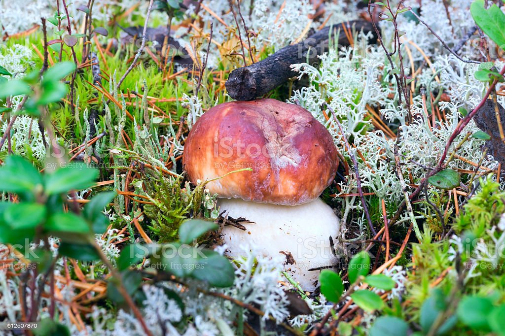 White mushroom growing in the forest stock photo