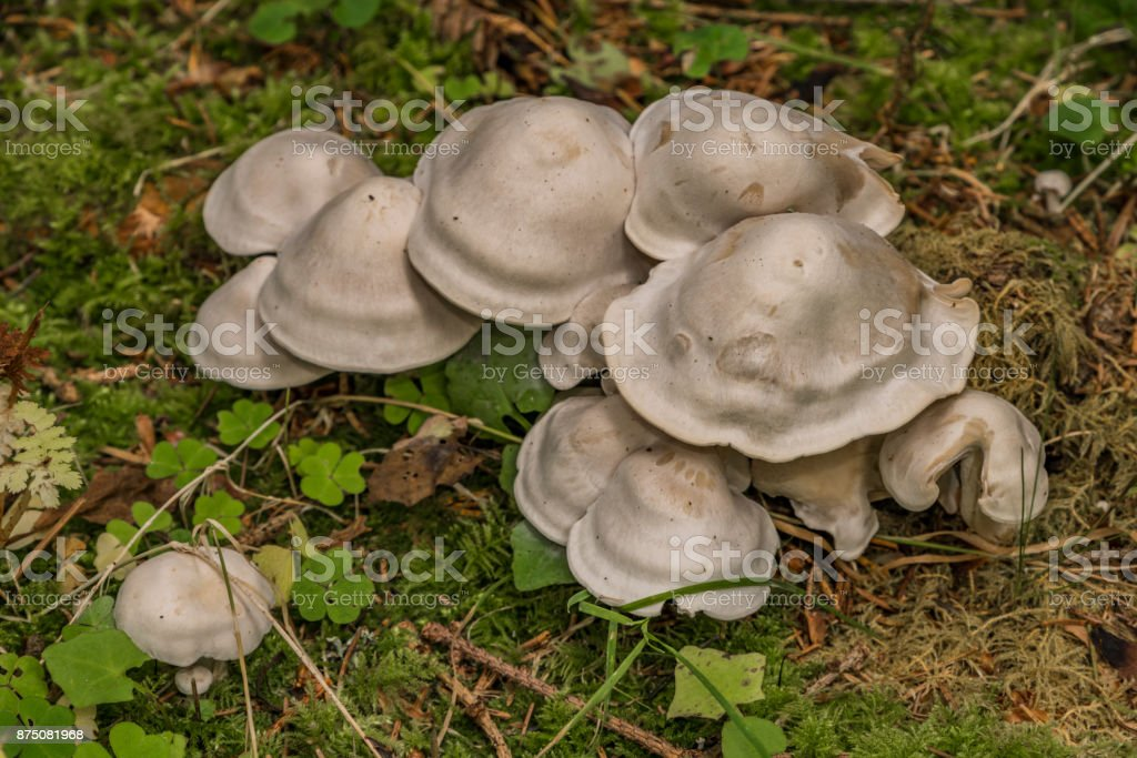 White mushroom in green autumn forest stock photo