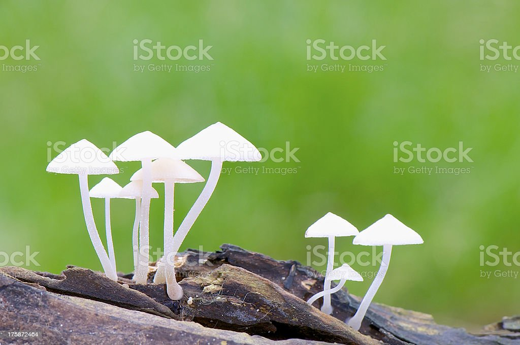White Mushroom royalty-free stock photo
