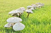 istock White mushrooms in green lawn field 493273918