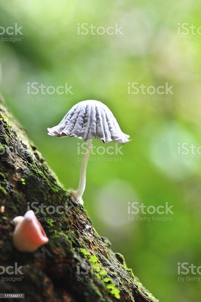 White mushrooms royalty-free stock photo
