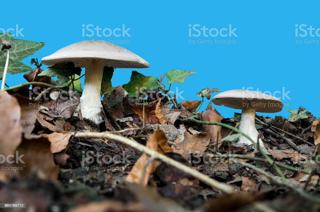 white mushrooms with gills gainst a blue screen royalty-free stock photo