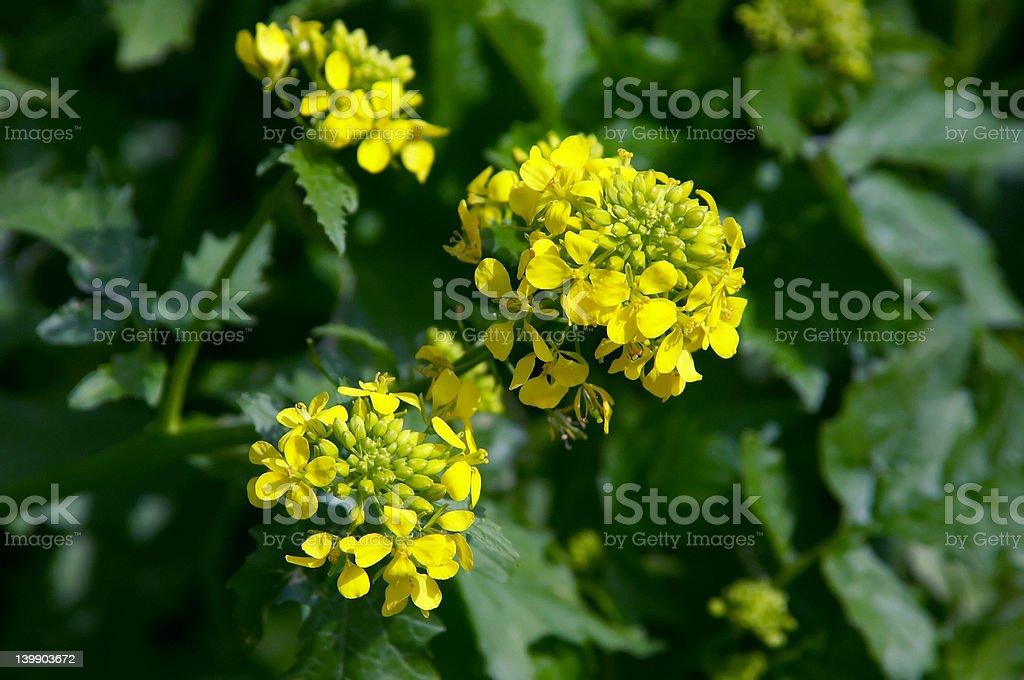 White Mustard Flower stock photo