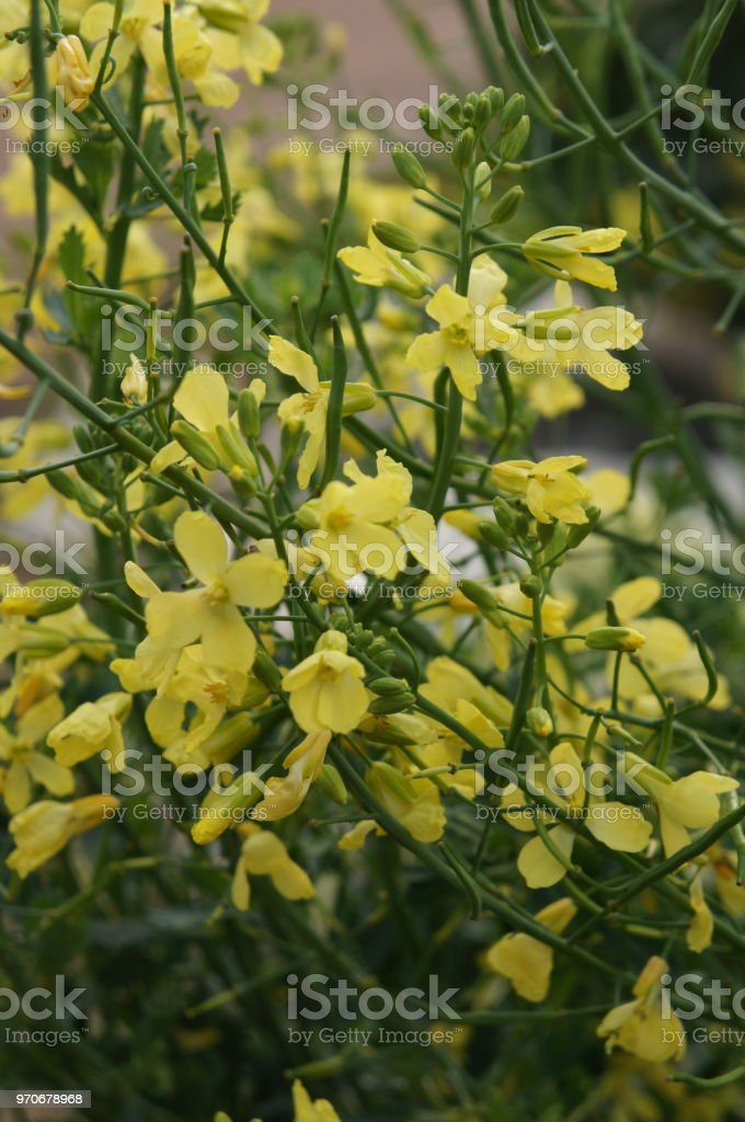 White Mustard Or Sinapis Alba Green Plant With Yellow Flowers Stock
