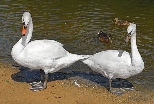 White Mute swans (Cygnus olor) on shore of lake. Moscow