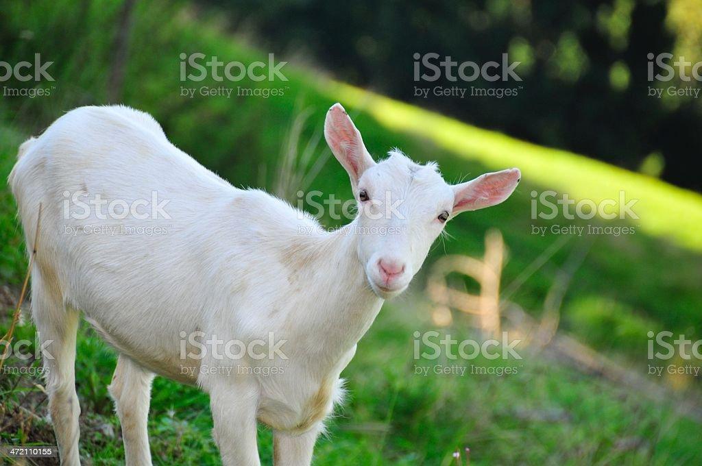White Nanny Goat stock photo