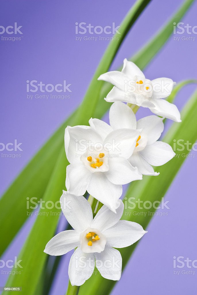 White Narcissus Blooming royalty-free stock photo