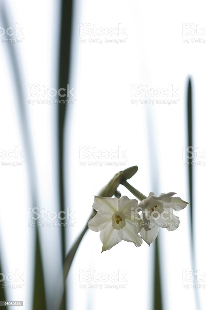 White narcissus flower royalty-free stock photo