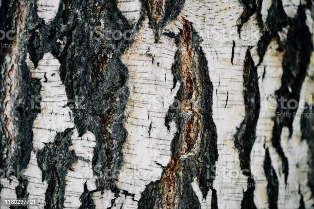 Photo of White nature background of birch bark close-up. Plane of birch trunk surface. Tree textured backdrop. Detailed natural texture of birch tree stem. Abstract background.