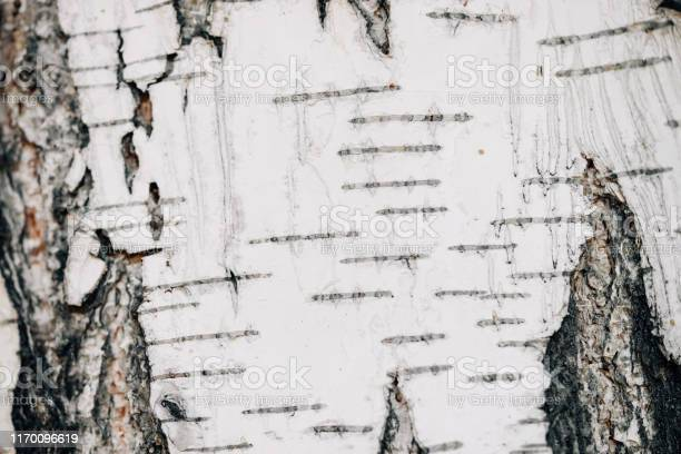 Photo of White nature background of birch bark close-up. Plane of birch trunk surface. Tree textured backdrop. Detailed natural texture of birch tree stem. Abstract mock-up. Background with copy space.