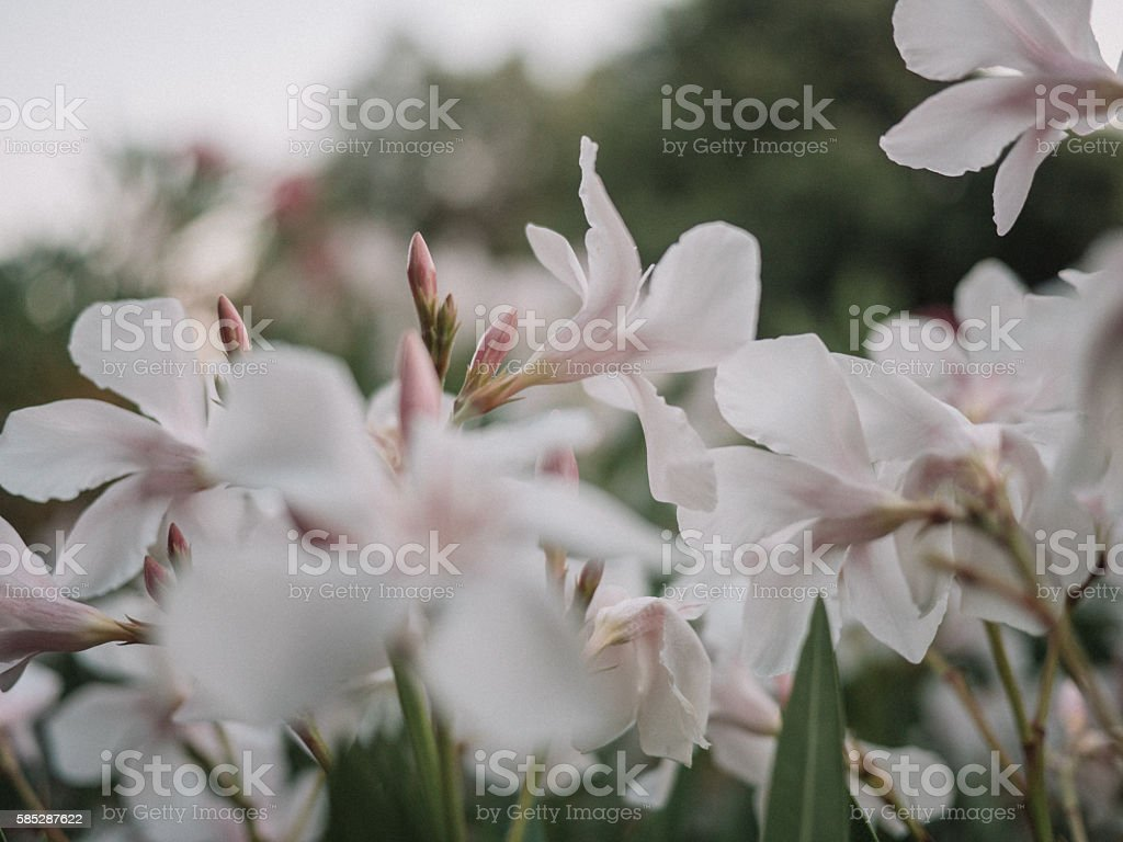 White Nerium Oleander Flower Stock Photo More Pictures Of Color