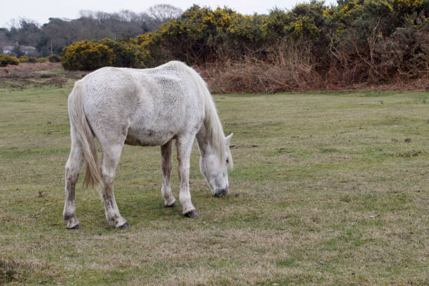 white new forest pony grazing close up - whiteway pony stock photos and pictures
