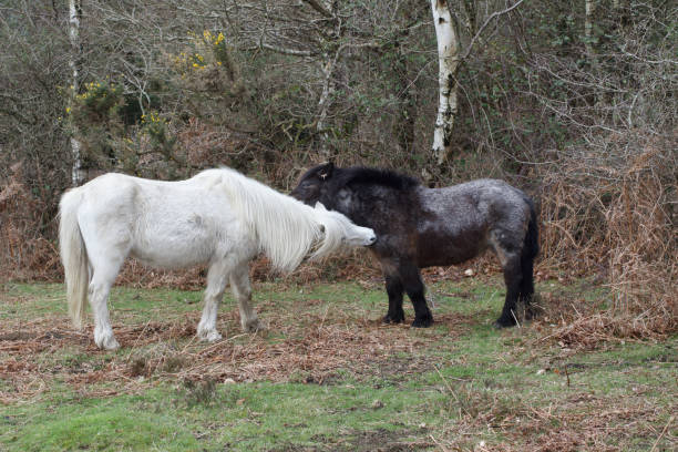 white new forest pony grooming its dark friend - whiteway pony stock photos and pictures