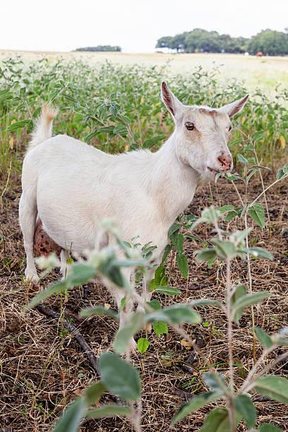 White Nigerian Dwarf Goat stock photo
