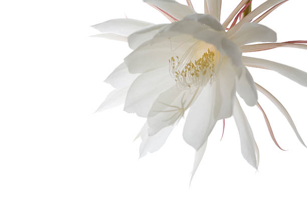 White Night Blooming Cereus Flower, Epiphyllum Orchid Cactus stock photo
