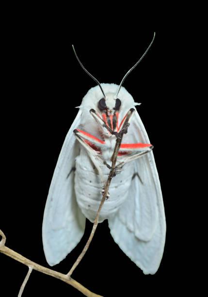 White night butterfly 2 picture id1147670456?b=1&k=6&m=1147670456&s=612x612&w=0&h=7pqpxirazr9blvd5vgd2khcqwxe5jyvotaolkrhqrkc=