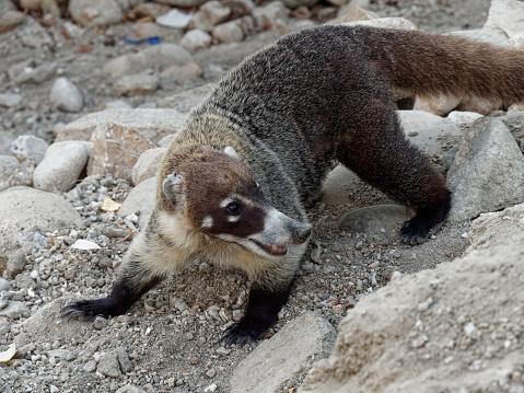 a Coati begs for food near Huatulco, Mexico