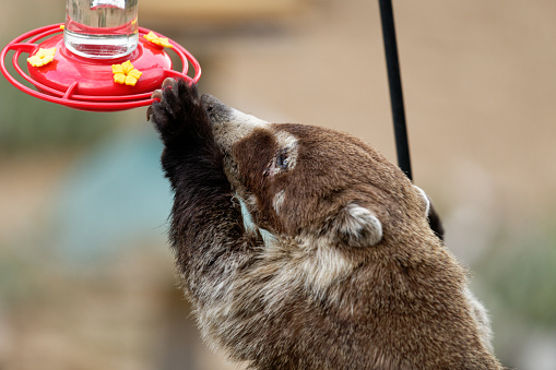 a Coati attempts to drink from a hummingbird feeder in Madera Canyon, Arizona
