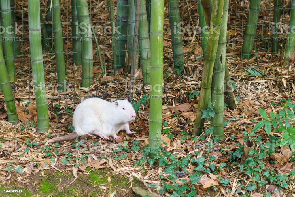White nutria or coypu, or swamp beaver (lat. Mycastor coypus) - albino stock photo