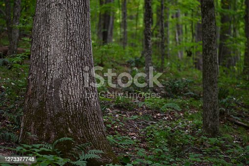 White oak tree in Connecticut forest. This hardwood species grows to be one of the biggest and most wind-resistant trees in the Eastern Deciduous Forest.