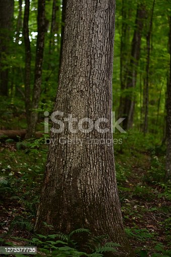 White oak tree on hillside in Connecticut. This hardwood species grows to be one of the biggest and most wind-resistant trees in the Eastern Deciduous Forest.