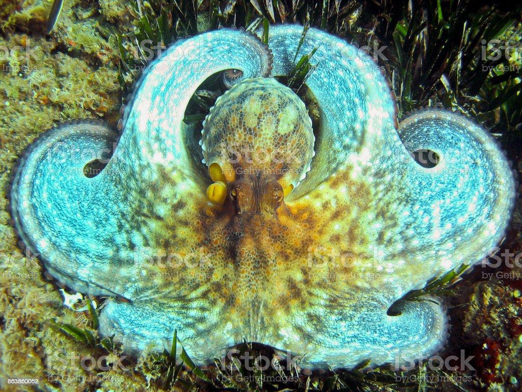 Pieuvre blanc, gros plan - Photo