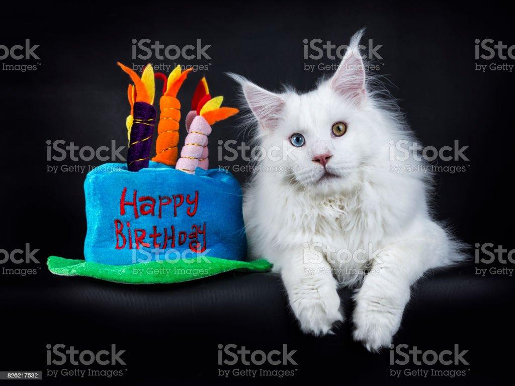 Witte odd eyed maine coom kat leggen geïsoleerd op zwarte achtergrond met pluche verjaardagstaart foto