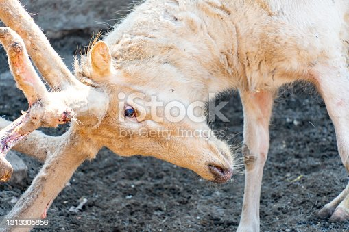 White old deer close-up. A white deer with wool antlers took a fighting stance. Deer albino. High quality photo