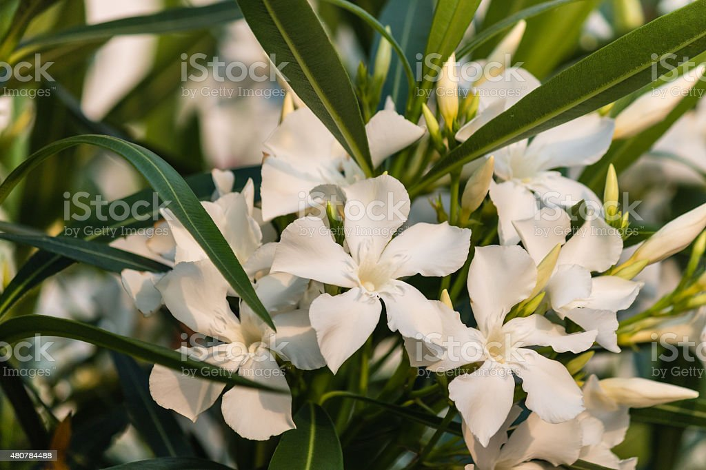 White oleander flowers in bloom stock photo more pictures of 2015 white oleander flowers in bloom royalty free stock photo mightylinksfo