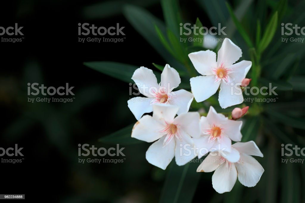 White Oleander Flowers With Black Background Stock Photo More
