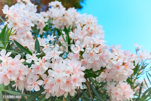 Nerium oleander in bloom, white and pink flowers and green leaves