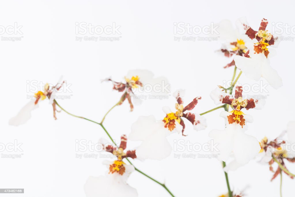 White Oncidium dancing lady orchids stock photo