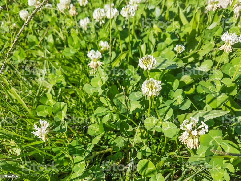 White or ladino clover stock photo