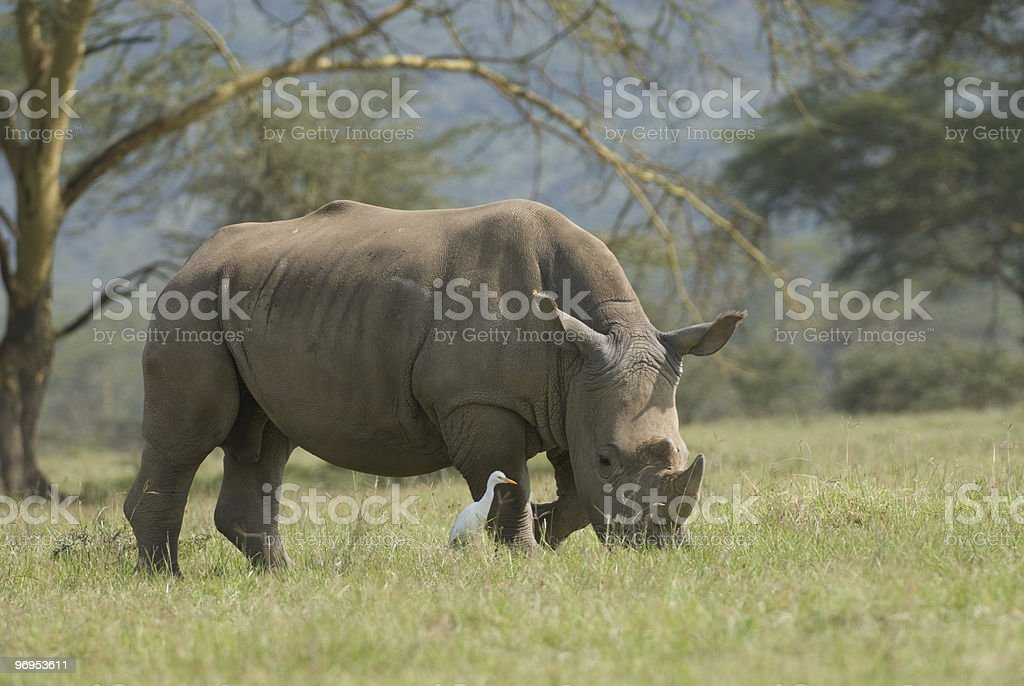 White or Square-lipped rhinoceros (Ceratotherium simum), Lake Nakuru, Kenya royalty-free stock photo