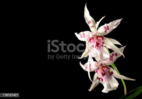 Cambria orchid over black background