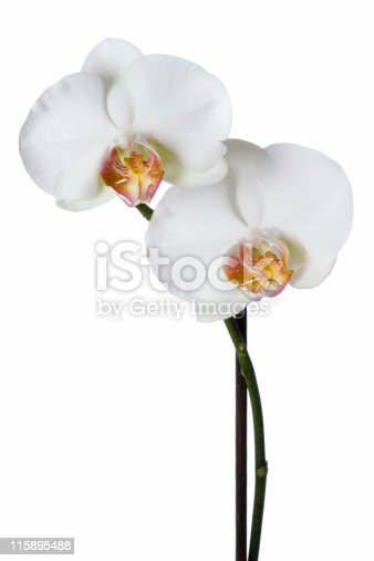 A white phalaenopsis orchid's branch.