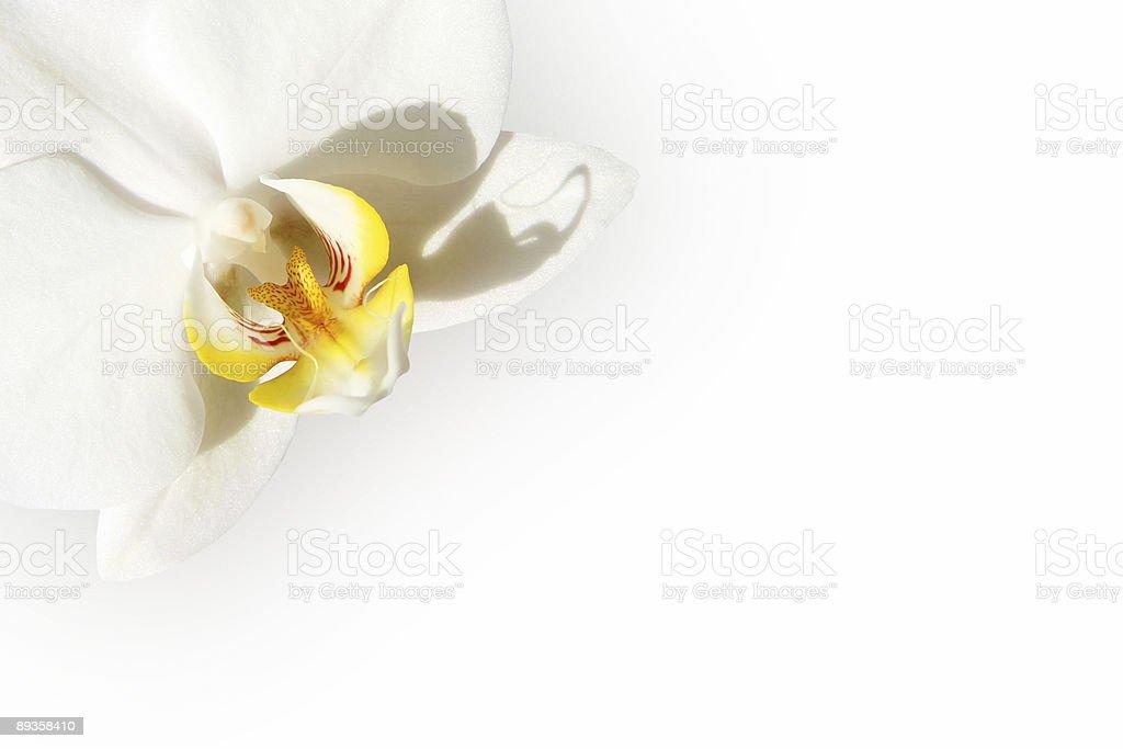 White Orchidea carta foto stock royalty-free