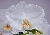 White moon orchid (Phalaenopsis amabilis) flower close up on soft purple background