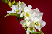 Orchid inflorescence with white flowers. Single orchid branch with flowers and buds on a red background.