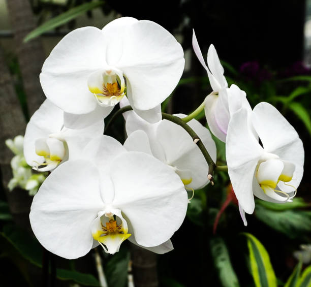 A White Orchid Flower Blooming stock photo