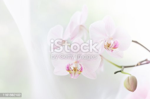 White orchid flower close up. Selective focus. Horizontal frame. Fresh flowers natural background. Copy space