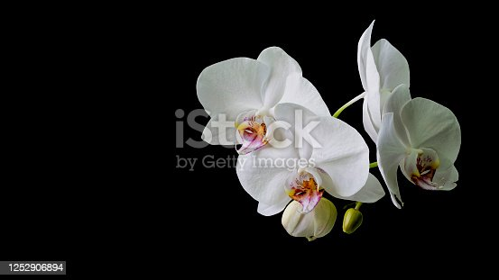 White orchid flower Phalaenopsis isolated on black background. Close-up of beautiful orchid known as Moth Orchid. Nature concept for design. Place for your text