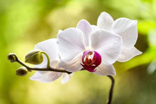 Fleur d'orchidée blanche - Photo