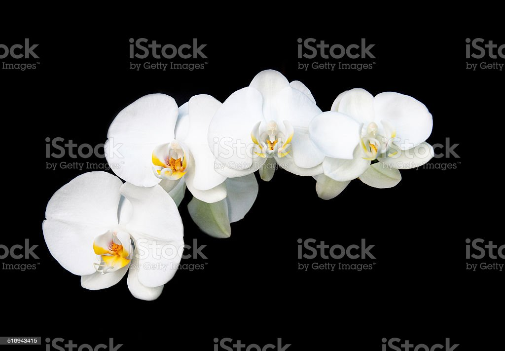 White orchid flower stock photo