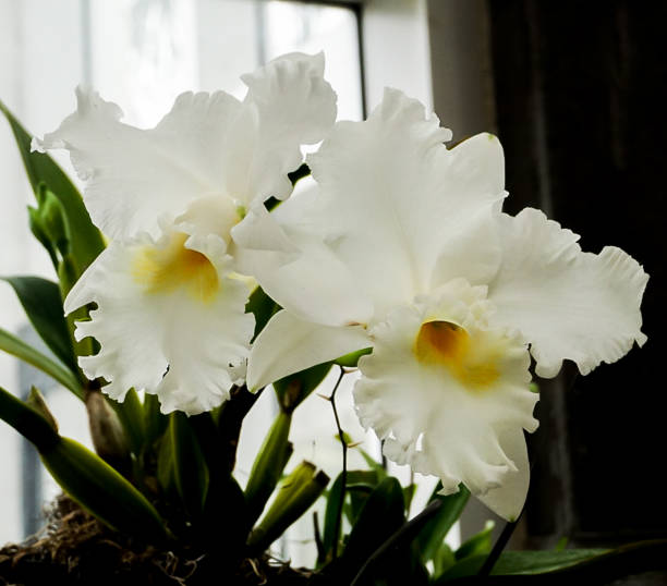 White Orchid Flowers Blooming stock photo